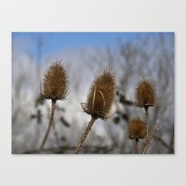 Winter Teasels Canvas Print