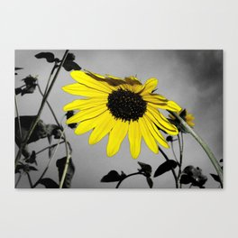 Sunflower Rain Canvas Print