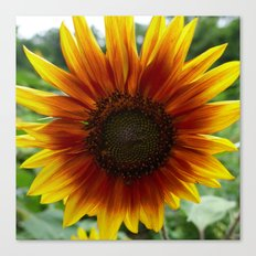 New Day Sunflower Canvas Print