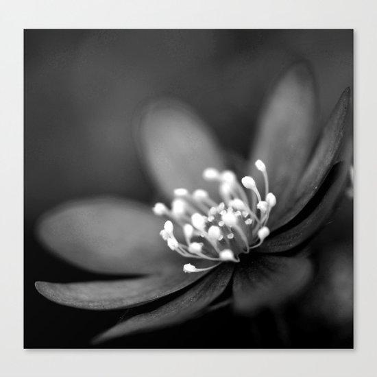 Blue spring flower Hepatica in bw II Canvas Print