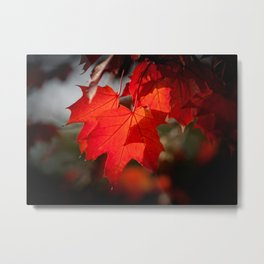 Fall Colors, Maple Style! Metal Print