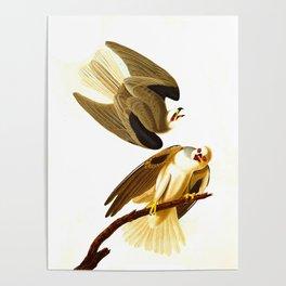 Black winged Hawk James Audubon Vintage Scientific Illustration American Birds Poster