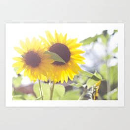 August Sunflower Art Print