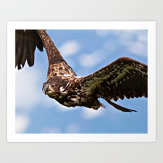 Flying Immature Bald Eagle Art Print