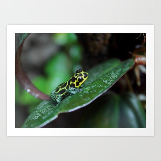 Poison Dart Frog R. Imitator Male Art Print