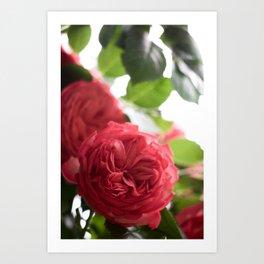 Shakespeare Garden 12. Roses Art Print