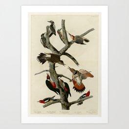 416 I. Hairy Woodpecker 2. Red bellied Woodpecker 3. Red shafted Woodpecker 4. Lewis' Woodpecker 5. Art Print