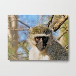 Velvet Monkey Closeup Portrait Metal Print
