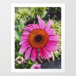 Pink Coneflower Echinacea, Flower Photography Art Print