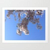 Cherry Blossoms in Boston. Art Print