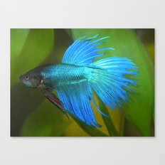 Blue Betta Fish Canvas Print