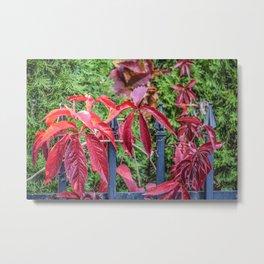 Nature Autumn Red Vine Leaves Metal Print