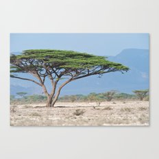 Acacia tree Canvas Print