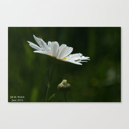 Daisy Covered in Raindrops Canvas Print