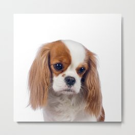 cavalier king charles spaniel making sad face expression Metal Print
