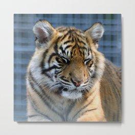 Tiger_20151013_by_JAMFoto Metal Print