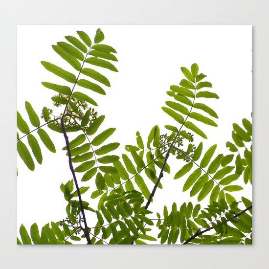 New Green Leaves Of A Rowan  Canvas Print
