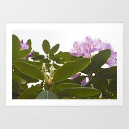 Pink Azalea Flowers with Spring Green Leaves Art Print