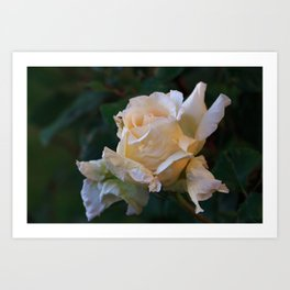 Sunlight On The Yellow Rose Art Print
