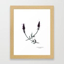 Lavendula angustifolia Framed Art Print