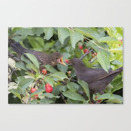 turdus merula common blackbird give food at her puppy Canvas Print