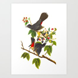 Cat Bird John James Audubon Scientific Illustration Art Print
