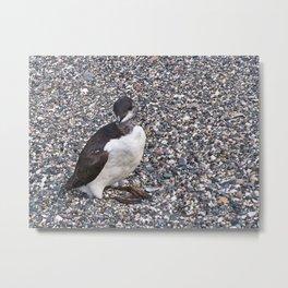 Razorbill Walking on the Beach Metal Print