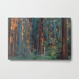 Redwood Sunrise Metal Print