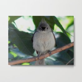 Young tufted titmouse Metal Print