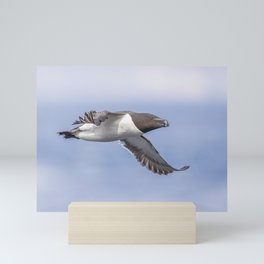 Razorbill in flight Mini Art Print