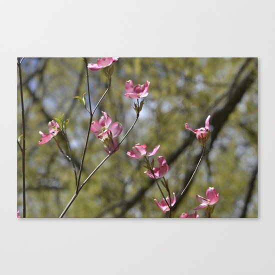 dogwood in bloom Canvas Print