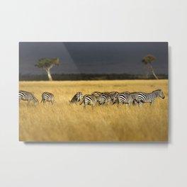 Zebra in Afternoon Light Metal Print