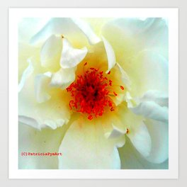The Christchurch Rose  Art Print
