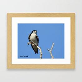 Male Tree Swallow Framed Art Print