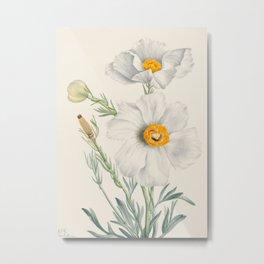 Matilija Poppy Botanical Illustration, Mary Vaux Walcott Metal Print