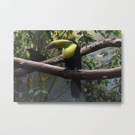 National Aviary - Pittsburgh - Keel Billed Toucan 1 Metal Print