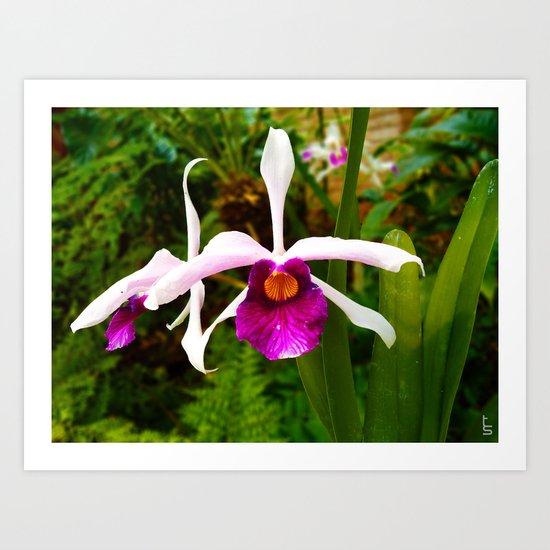 Laelia Purpurata Orchid Art Print