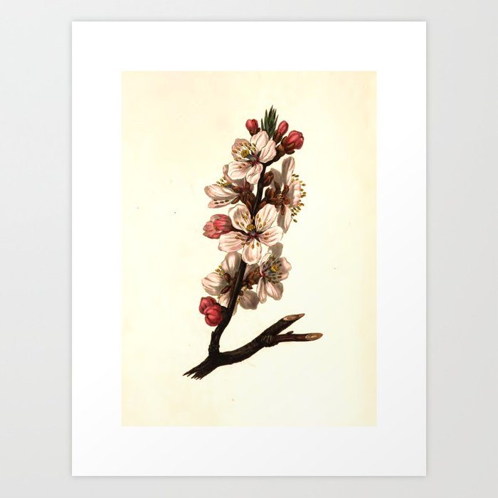 """Almond blossom from """"The Moral of Flowers"""" (1833) by Rebecca Hey Art Print"""