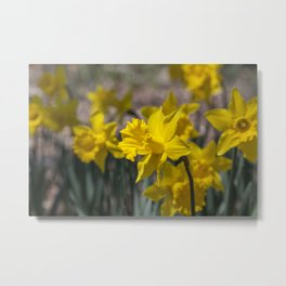 Daffodils 3 Metal Print