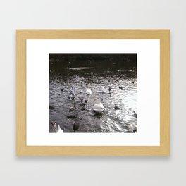 Swans 2 Framed Art Print
