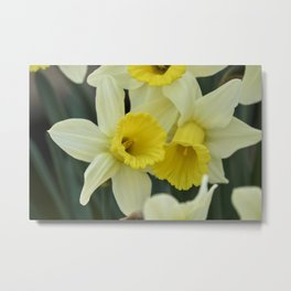 daffodils bloom in spring in the garden Metal Print