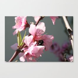 Unidentified Winged Insect On Peach Tree Blossom Canvas Print