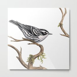 Black-and-White Warbler (Mniotilta varia) Metal Print