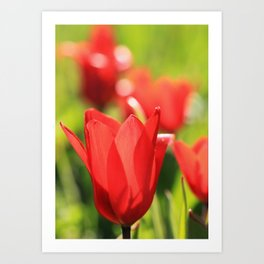 Red tulips in backlight 3 Art Print
