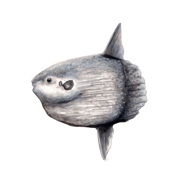 Ocean Sunfish (Mola mola) Duvet Cover