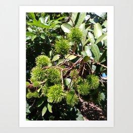 Tropical Fruit : Rambutan Art Print