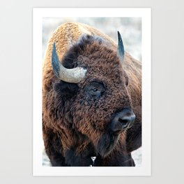In The Presence Of Bison Art Print