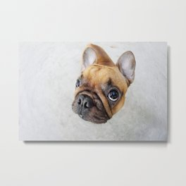 Cute french bulldog Metal Print