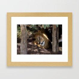Lion After Lunch Nap Framed Art Print