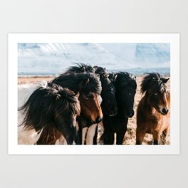 Horses in Iceland - Wildlife animals Art Print